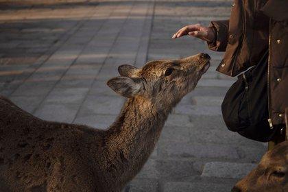 Un turista acaricia a un ciervo en Nara, Japón (AP Photo / Jae C. Hong)