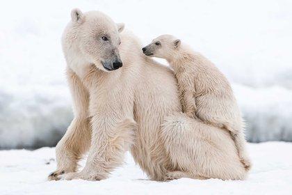 El equipo de científicos estudió específicamente una subpoblación de osos que dependen del hielo marino estacional en la Bahía de Baffin (Shutterstock)