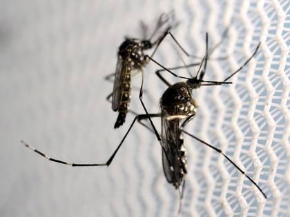 El mosquito Aedes aegypti en un laboratorio en Campinas, Brasil (Reuters)