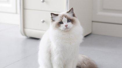 Los gatos ragdoll son gatos grandes y gentiles cuyo nombre proviene del hecho de que al ser recogidos se vuelven completamente inertes