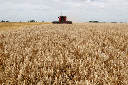 The wheat campaign that ended last week had to face adverse weather conditions that affected the development of the crop (REUTERS / Enrique Marcarian)