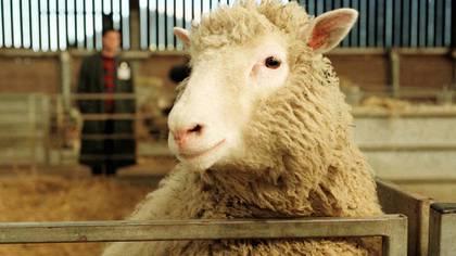 La clonación de la oveja Dolly inspiró un nuevo tratamiento contra el coronavirus