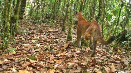 Pumas y osos andinos fueron captados en video en el Parque Nacional Tatamá, en Risaralda