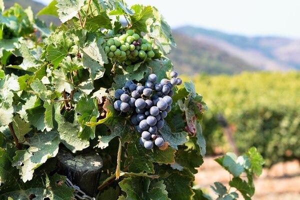 Uvas, antes de la trituración