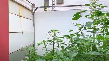 La maleza ha crecido hasta por encima del tamaño de un adulto promedio en el patio frontal (Foto: Captura de pantalla/ Youtube @Margarito Music Oficial)