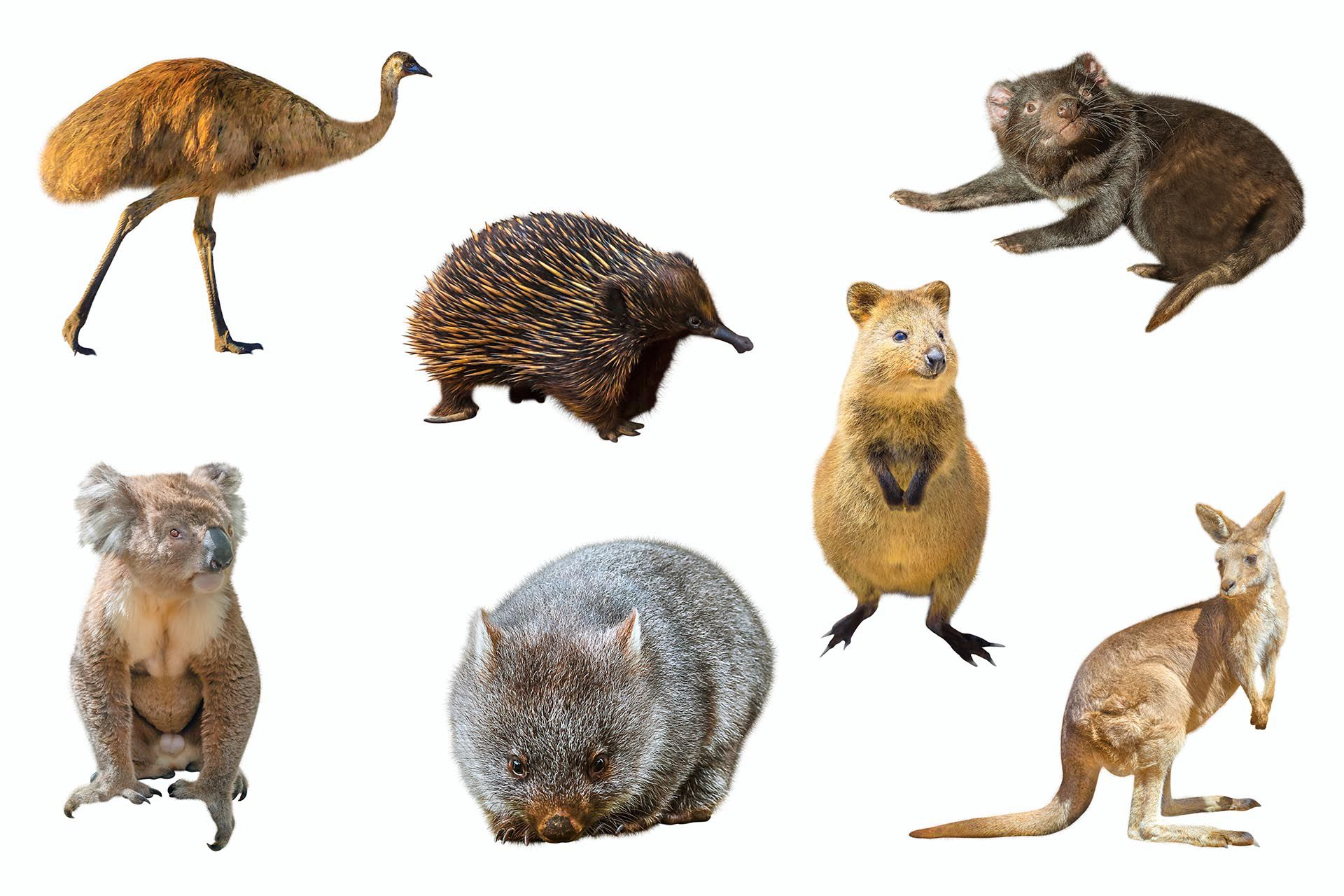 En Australia existen además de los canguros y los koalas especies marsupiales menos conocidas son exclusivas de este continente, como los wombats, el demonio de tasmania, y el quokka o canguro enano, conocido popularmente como el animal más feliz del mundo por su expresión facial similar a una sonrisa (Shutterstock)