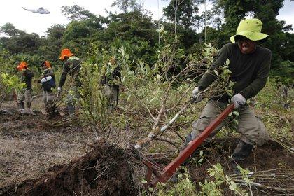 27/10/2020 Erradicacion de cultivos de coca en en la ciudad de Caballococha., en el departamento de Loreto, en el noreste de Perú. POLITICA SUDAMÉRICA COLOMBIA LATINOAMÉRICA INTERNACIONAL EL COMERCIO / ZUMA PRESS / CONTACTOPHOTO