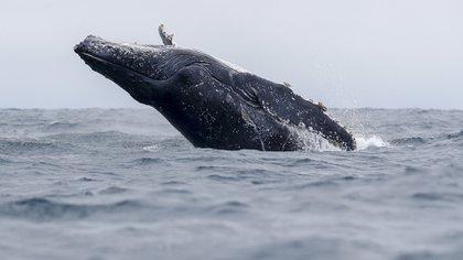 Las hembras pueden alcanzar los dieciséis metros de longitud (Foto: EFE/José Jácome)