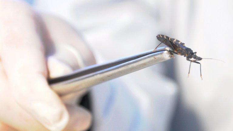 En América del Sur el principal vector es el Trypanosoma cruzi, la vinchuca. La realidad es que, producto de las acciones de control vectorial y del avance de la deforestación, disminuyó muchísimo su hábitat. Foto: Fernando Calzada.