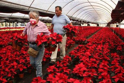 Pese a la pandemia, floricultores de Xochimilco, Ciudad de México, esperan recuperarse con la venta de las flores de nochebuena durante las fiestas decembrinas (Foto: Cuartoscuro)