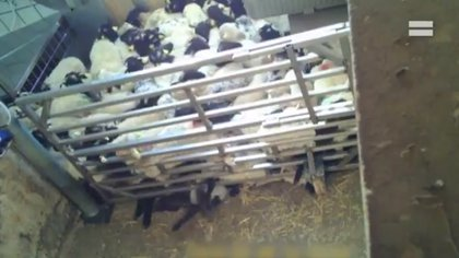 En las tomas, uno de los corderos aparece aplastado por el hacinamiento