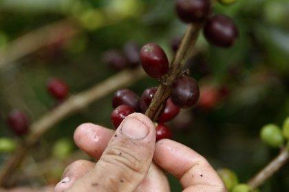El café es, en efecto, un gran comercio global, uno de los productos agrícolas más apetecidos por el mercado y fuente de trabajo de 125 millones de personas. (EFE/Luis Eduardo Noriega)