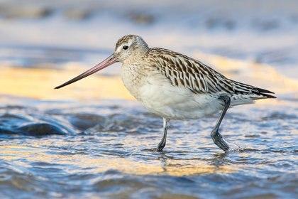 El ejemplar de Limosa lapponica viajó del 16 al 27 de septiembre una distancia de 12.854 kilómetros, y rompió así el récord de otra ave en 2007, de 11.680 kilómetros. (Wikimedia Commons)