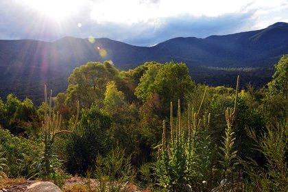 Los incendios han afectado principalmente la costa este, y sur de Australia, donde predominan los bosques de eucaliptos y acacias (Shutterstock)