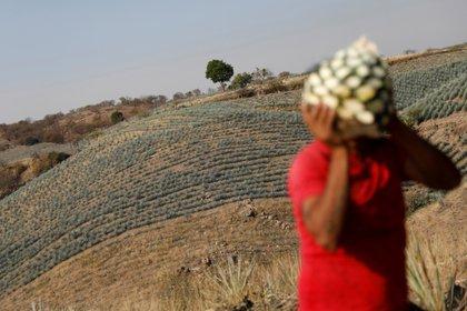 La cosecha de agave (planta de la que se extrae el tequila) puede continuar pese a que la industria de bebidas alcohólicas no está dentro de las actividades esenciales (Foto: REUTERS/Carlos Jasso)