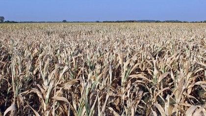 La sequía que afecta al trigo es la más grave de los últimos 10 años