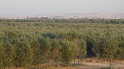 Olivares en el desierto del Néguev, Israel. Foto: Fernando Calzada/DEF.