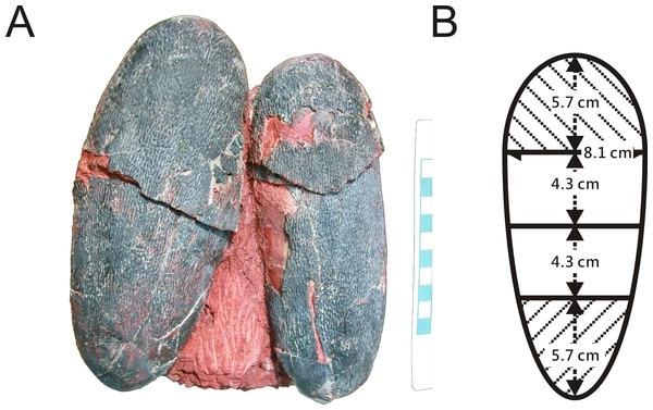 Algunos de los huevos de dinosaurio fosilizados que se estudiaron (jasminawiemann.com)