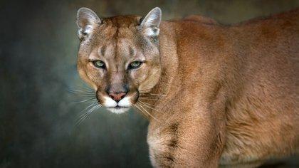 Un puma como los tres que mataron en Arizona esta semana (Shutterstock.com)