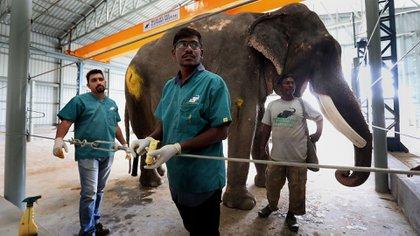 Varios veterinarios curan las patas de un elefante herido en el Hospital de Elefantes (EFE/ Harish Tyagi)