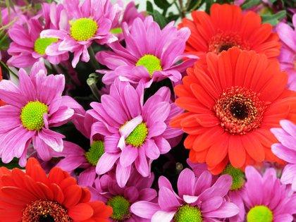 Las gerberas son súper coloridas y hay de muchas variedades (Shutterstock)