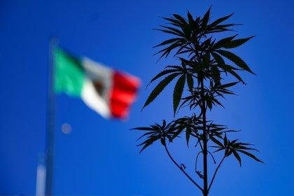 Personas muestran una planta de marihuana en el Zócalo de la Ciudad de México (México). EFE/ Carlos Ramírez
