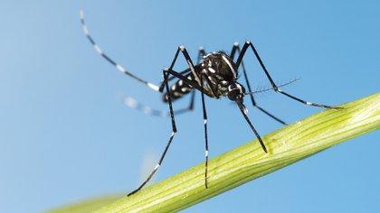Tanto el Aedes aegypti como el Aedes albopictus pueden transmitir los virus del dengue, chikunguña y zika, así como al menos más de una decena de otras enfermedades emergentes (Shutterstock)
