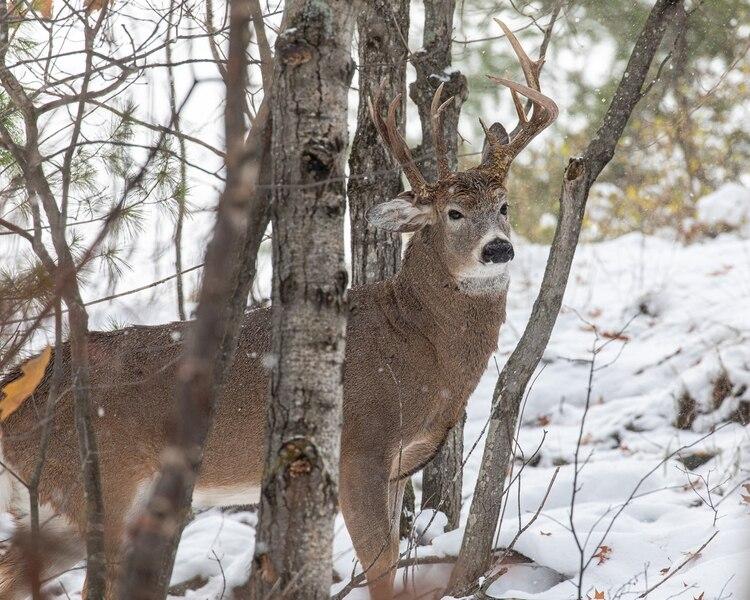 """Capturó la foto de su vida: un extraño ejemplar de ciervo que sólo puede verse """"uno en un millón"""""""