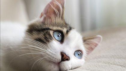 Las feromonas son capaces de modificar algunos aspectos fisiológicos y conductuales del felino que las recibe y, además, pueden servir para determinar el territorio de un gato y actúan sobre su comportamiento sexual y social (Shutterstock)