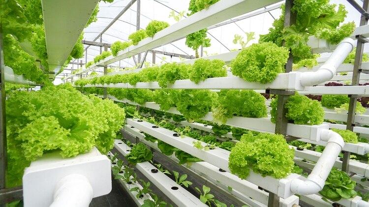 una producción en fincas verticales de 1.000 metros es equivalente a 60 hectáreas cultivadas de forma tradicional. (Shutterstock)
