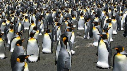 Pingüinos rey en el archipiélago de las Crozet (AFP)