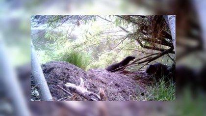 La nutria es un carnívoro semiacuático que se alimenta de animales filtradores (Foto: Captura de Pantalla)