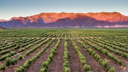 Altos de Tinogasta, en Catamarca, es otro caso de Real Estate Productivo que se centra en la producción de oliva y vinos de alta gama