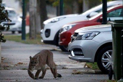 Ante la falta de movimiento en Santiago de Chile, un puma merodeó la capital antes de ser capturado (Reuters)