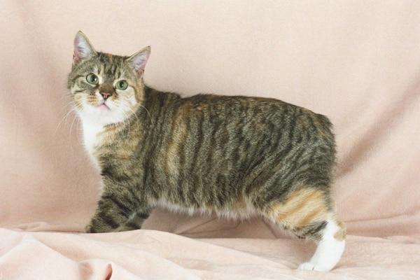El Manx, el extraño gato sin cola