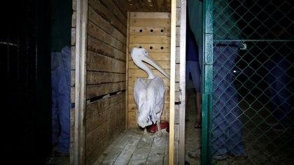 El pelícano, uno de los animales sobrevivientes del Zoológico Khan Younis (Reuters)