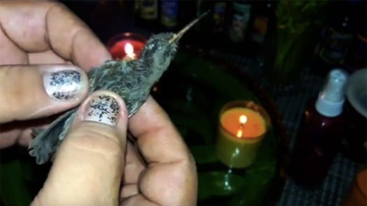 El colibrí es recomendado por brujos y chamanes para atraer el amor (Foto: YouTube)