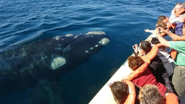 Los expertos aseguran que la ballena franca es un animal muy manso que no tiene problemas en acercarse hasta las embarcaciones