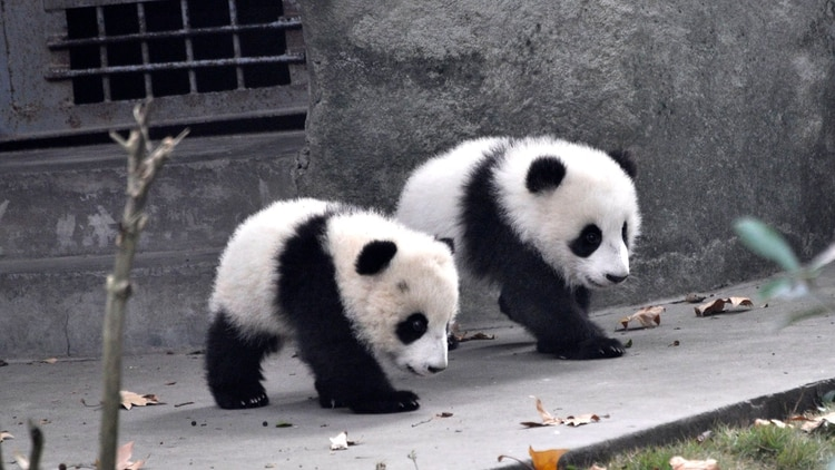 """""""Los abrazo todo el tiempo"""", dijo a Timeun cuidador de pandas en Shengdu. (Shutterstock)"""