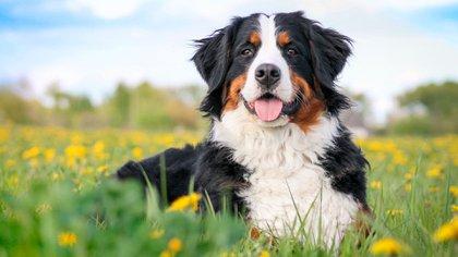 Es un perro de tamaño mediano-grande que se encariña demasiado con su amo hasta el punto de que no es conveniente cederlo cuando ya es adulto (Shutterstock)