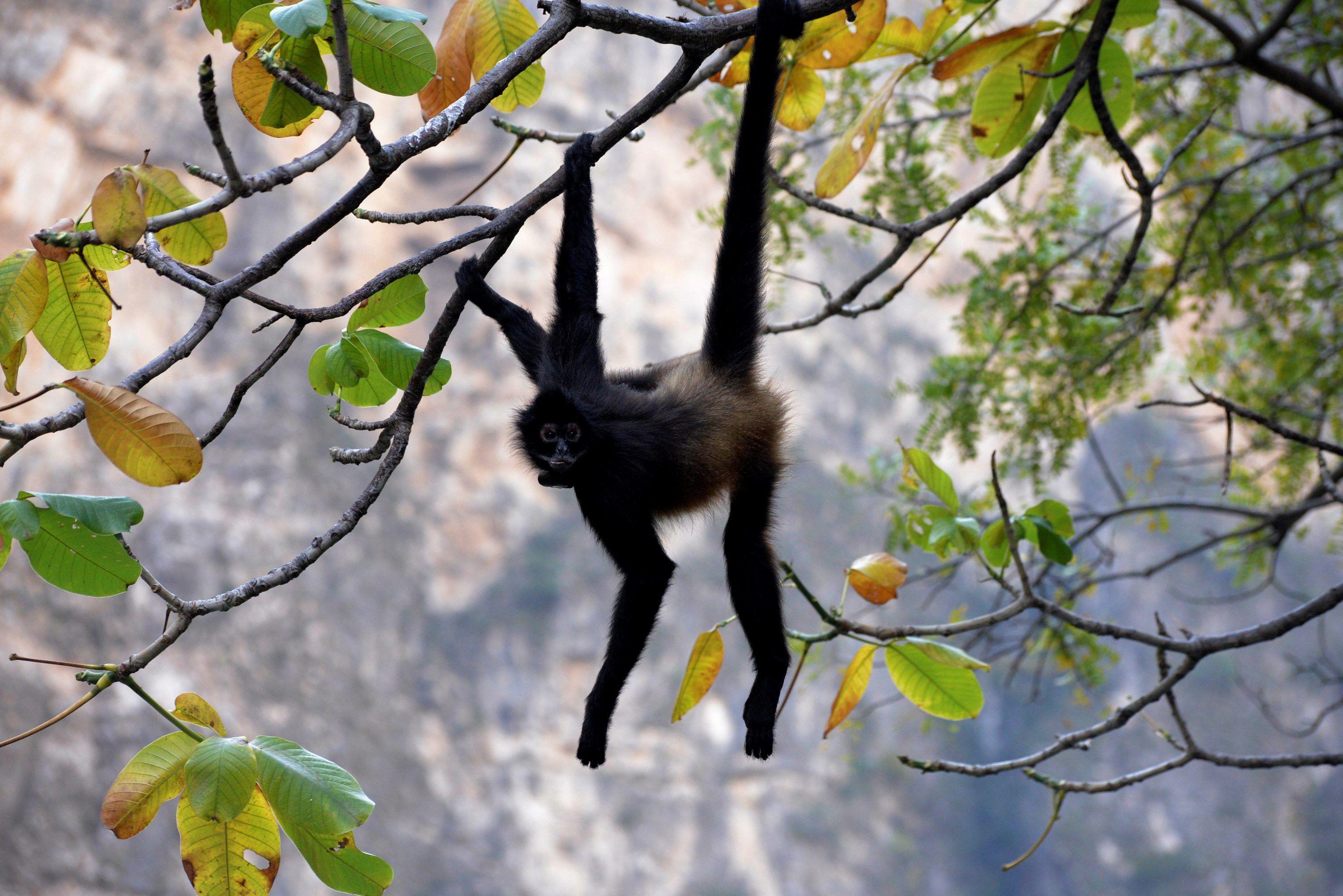 Mono araña (Foto: EFE/Archivo)