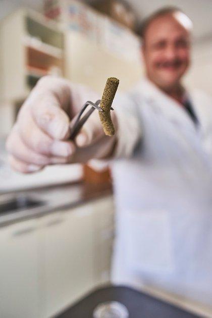Los pigmentos del erizo que tienen propiedades antioxidantes son extraídos por Arbacia, empresa dedicada a la acuicultura que cuenta con una población pequeña de unos mil erizos
