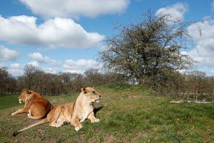 Los investigadores encontraron que el contagio del bostezo estaba presente entre los leones, lo que apoya la hipótesis del contagio y la hipótesis de la sincronización de la actividad (REUTERS/Andrew Boyers)