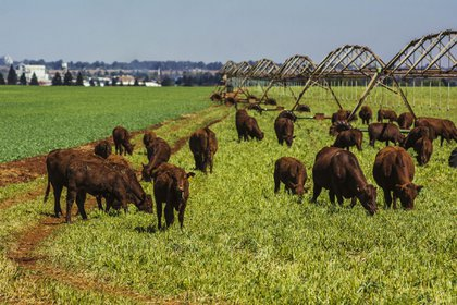 Cattle graze on the Ehlerskroon farm, outside Delmas in the Mpumalanga province, South Africa on Thursday, Sept. 13, 2018. A legal battle may be looming over plans by South Africas ruling party to change the constitution to make it easier to expropriate land without paying for it, with widely divergent views over the process that needs to be followed. Photographer: Bloomberg/Bloomberg