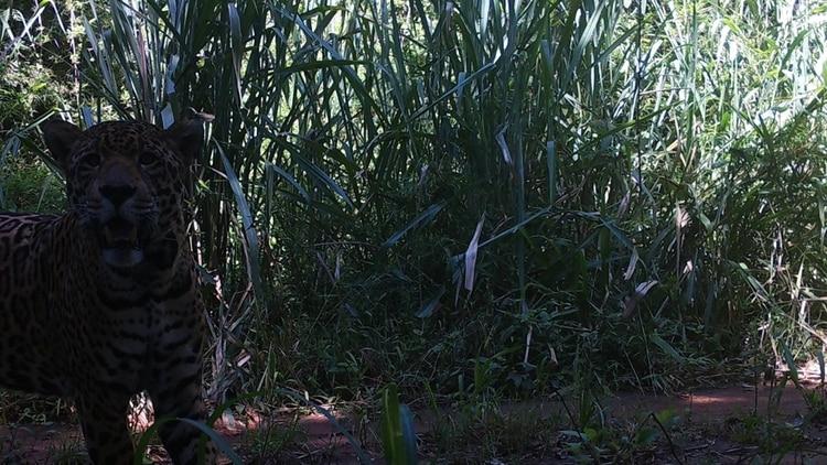 A raíz de la ausencia total de visitantes, las cámaras trampa de una zona de paseo humano cotidiano registraron la aparición de un Yaguareté