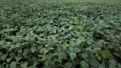 Varios factores impulsaron los precios de la soja en el mercado de Chicago en los últimos días (Fernando Calzada)