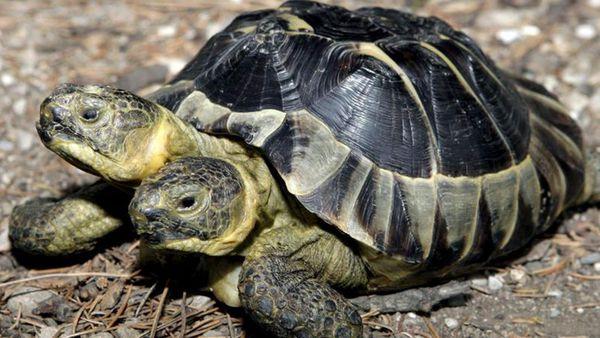 Científicos de una universidad de Florida descubrieron una tortuga con dos cabezas