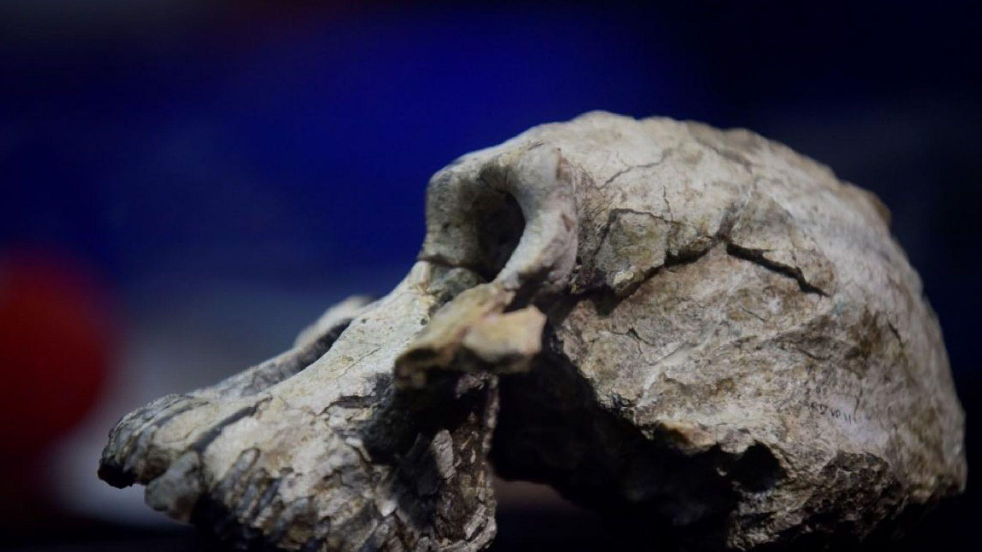 El cráneo es una pieza clave en el rompecabezas de la evolución humana (EFE)