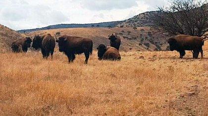 En las propiedades se encontraron animales como búfalos y llamas, entre otros. (Foto: Archivo)