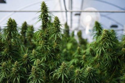 La marihuana podrá ser vendida legalmente en Virginia a partir de 2024 (REUTERS/Chalinee Thirasupa)